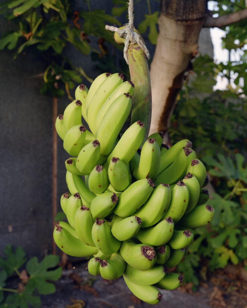 juan-baraja_experimento-banana-10