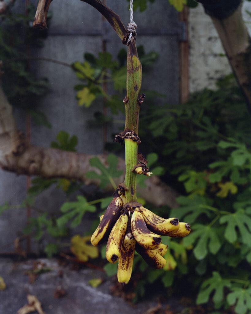 juan-baraja_experimento-banana-11
