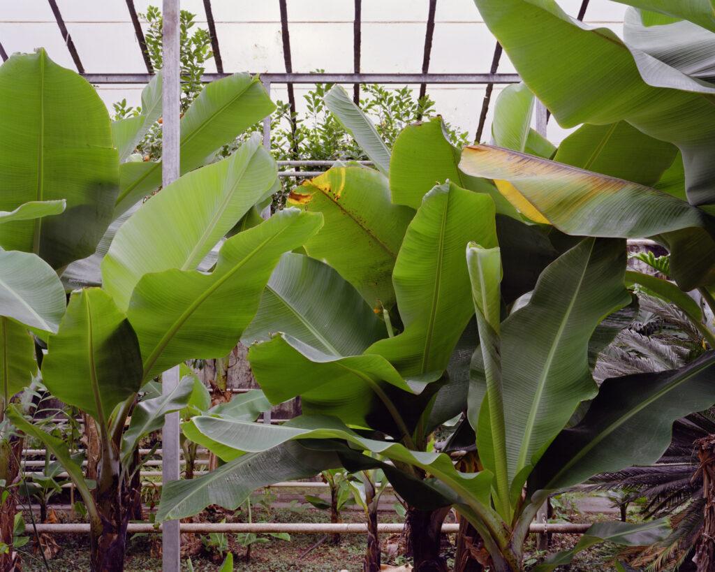 Juan Baraja - Experimento Banana